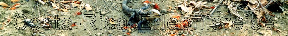 Costa Rica, eine sprektakul�re Echse bei der Tierbeobachtung.