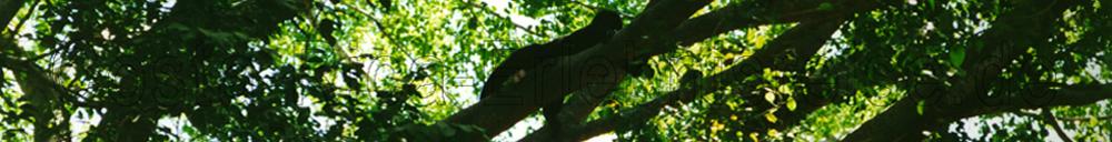 Costa Rica, Bruellaffe im Regenwald.